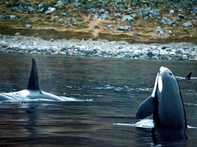 Niedlich Mörderwal Färbung Seite Fotos - Framing Malvorlagen ...