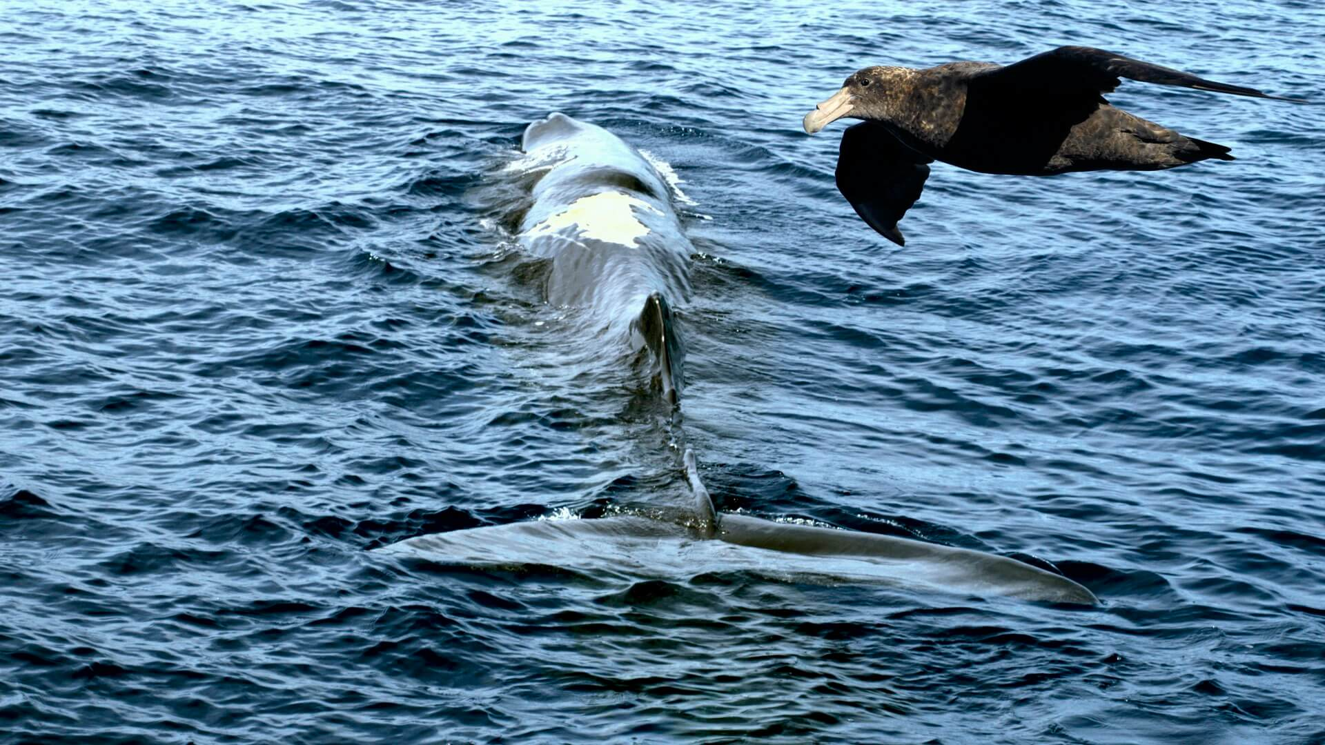Riesensturmvögel attackieren Pottwale